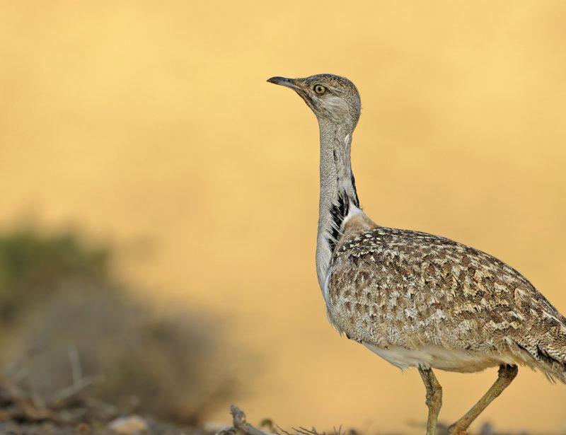 Etihad Cargo transports endangered birds under Houbara programme
